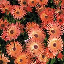 Ice Plant- Livingston Daisy- Orange-  100 Seeds -