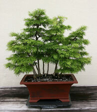 GOLDEN LARCH - Pseudolarix amabilis - bonsai - 10 fresh seeds  SOW ALL YEAR no05