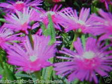 TICKLE-ME-PINK ICE PLANT FLOWER SEEDS.  WONDERFUL GROUND COVER  USA SHIPPED ITEM