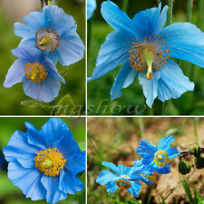 200Pcs Persian Blue Poppy Seeds Papaver Somniferum Flower Tibetan Meconopsis Hot