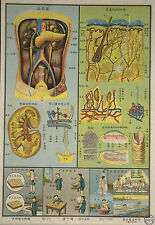 Framed Vintage Chinese Medical Print – Excretory System (Picture Anatomy Art)