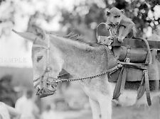 PHOTOGRAPHY BLACK WHITE DONKEY MONKEY BENSONS ZOO ANIMAL LV3621