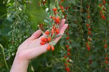 die leckere Gojibeere ist gesund und sieht leuchtend gut aus in Ihrem Garten !