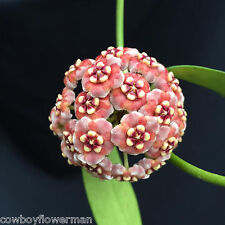 "HOYA  MELIFLUA, PINK FLOWERS, LONG LEAVES,  ROOTED PLANT SHIPPED IN 4"" POT"