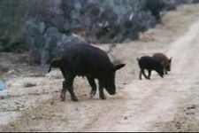 �� Wild Hog Hunt For 2 / Boar Hunting Pig / South Texas w 2 Nights Lodging Deer