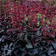 """heuchera SWIRLING FANTASY red flowers Coral Bells 2.5"""" pot ☆1 Live Potted Plant☆"""