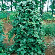 100 Green Stem Climbing Malabar Spinach Seeds Healthy Vegetables TT194