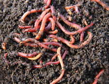 50 Live Red Wiggler Worms Organic Composting Lizard food or Fishing Bait