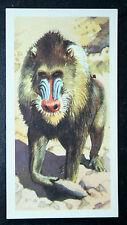MANDRILL  Baboon   Vintage Colour Card   VGC