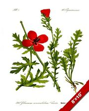 GLAUCIUM RED POPPY FLOWER PLANT ILLUSTRATION PAINTING ART REAL CANVAS PRINT