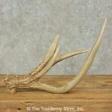 #16235 E+   Whitetail Deer Taxidermy Antler Shed For Sale