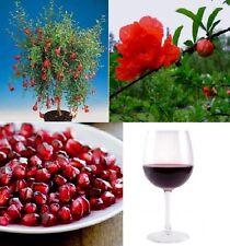 Granatapfel Samen/ exotische Blüh-Pflanze für die Wohnung das Fenster den Balkon