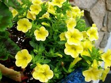 Petunia Seeds Shock Wave Yellow 25 Pelleted Seeds Trailing Petunia NEW VARIETY