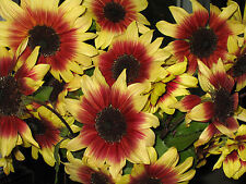 20 Seeds Sunflower MAGIC ROUNDABOUT Bi-Colored & Tri-Colored AMAZING Flowers