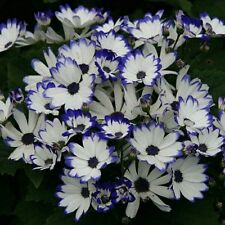 30 Seeds Florist Cineraria Easy growing Flower Exotic flower Seeds
