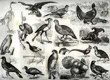 1875= UCCELLI GALLINACEI = Animali = Antica Stampa = Old ENGRAVING