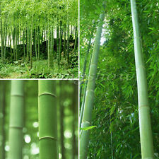 60PCS Phyllostachys Pubescens Bamboo Hedging - Rare Fresh Plants Hardy Seeds New