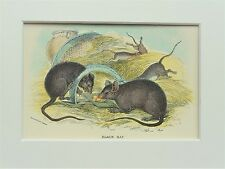 Black Rat - Mounted Antique British Animal Print Victorian Lithograph