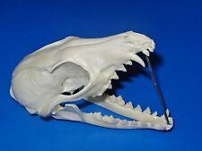 Genuine - Nevada - GREY FOX SKULL - Hunt Trap Antler Skeleton Bones Horn