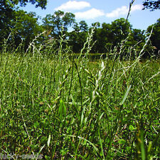 "Gulf Annual Ryegrass ""Lawns and for Winter Pasture"" 10 Lbs Bulk Package 2000SQFT"