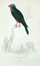 PURPLE HEADED PARAKEET S.America, hand coloured parrot antique bird print 1833