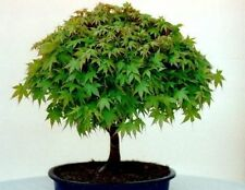 Japanese Maple 25 Seeds Autumn Colour/Bonsai Deciduous Frost Tolerant Small Tree