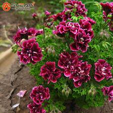 20 Pieces Crimson Petals Geranium Seeds Pelargonium Peltatum Flowers plant
