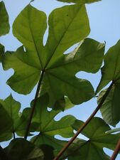 Firmiana simplex CHINESE PARASOL TREE, Huge Leaves, Tropical Look, Hardy ~SEEDS~