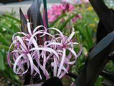 Crinum Lily, procerum 'Purple Prince' medium size NEW