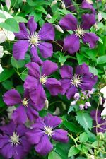 Clematis Viticella Purple Seeds - Huge Flowers, Beautiful Vine