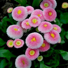 Beautiful 400 Pink English Everlasting Daisy Seeds TT312