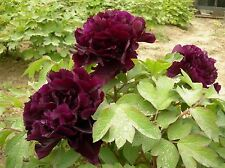 SEEDS 3 graines PIVOINE EN ARBRE ROUGE(Paeonia Suffruticosa) RED TREE PEONY