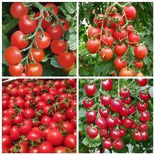 40PCS Raro Organico Rosso Russo Ciliegia Pomodoro Heirloom Semi Vegetali Frutta