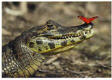 Ansichtskarte: Krokodil und Schmetterling- schönes Foto -crocodile and butterfly