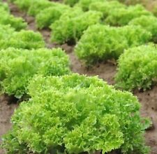 Lettuce Salad Bowl Mix - Red and Green - Min 2000 seeds