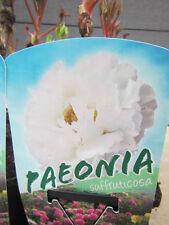 Strauchpaeonie - Tree Peony 'Weiß' - Winterharte Pflanze - Baumpfingstrose