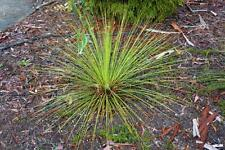 Swamp Grass Tree (Xanthorrhoea fulva) 25 seeds