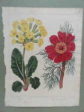 Edwards The New Botanic Garden 1812 Colored Lithograph Print Oxlip Peony Paeony