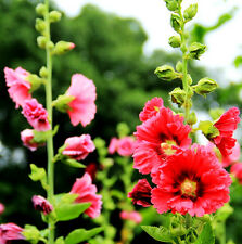 30 Red Hollyhock Seeds Althaea rosa radix althaeae roseae Garden Flowers A028