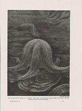 Seesterne beim Verspeisen von Austern DRUCK von 1912 sea stars oysters starfish