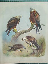 1915 ANTIQUE BIRD PRINT ~ BLACK KITE ~ HONEY BUZZARD ~ KITE
