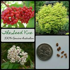 10+ RED ELDERBERRY TREE SEEDS (Sambucus racemosa) Edible Fruit Deciduous