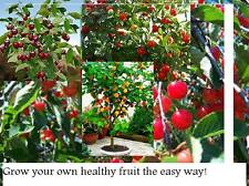 3 x fruit TREES;Cherry,Apple and plum tree(not dwarf but stay small when in pots