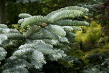 Abies procera [syn. nobilis] (Noble Fir) - 25 seeds. Great for Christmas trees.