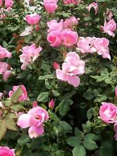 Blushing Knock Out Blush Pink Rose 1 Gal Shrub Plants Disease Resistant Roses !