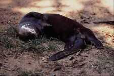 563088 nutria gigante de rio pxeronura Brasiliensis A4 Foto Impresión