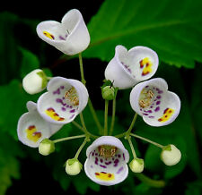 30 Seeds JOVELLANA PUNCTATA . . . TeaCup Flower . . . RARE . . . HARD-2-FIND