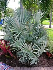 5 SILVER SAW PALMETTO Shrub White Flower Red Black Fruit Serenoa Repens Seeds