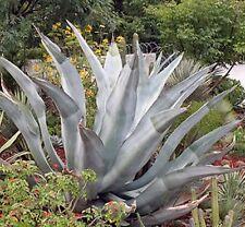 10 Seeds - Agave valenciana - Giant Mezcal Agave