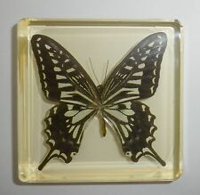 Swallowtail Butterfly in Amber Clear Block Education Real Insect Specimen